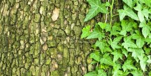 547 8400x5600 300x152 - عکس با کیفیت تنه درخت پوشیده از جلبک های سبز در کنار برگ های پیچک