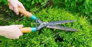 عکس با کیفیت هرس و بریدن شاخه های اضافه شمشادها با قیچی باغبانی برای اصلاح و شکل دادن به آن