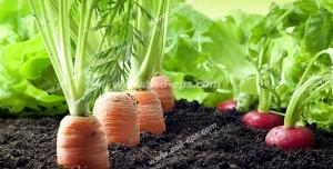 عکس با کیفیت هویج ها و تربچه های کاشته شده در خاک از نمای نزدیک