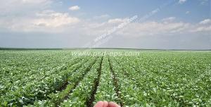عکس با کیفیت زمین کشاورزی با بوته های گیاهان کاشته شده لوبیا به همراه دستان کشاورز با لوبیا