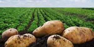 عکس با کیفیت زمین کشاورزی با بوته های کاشته شده به همراه سیب زمینی های در خاک