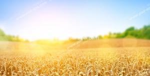عکس با کیفیت مزرعه بزرگ گندم های طلایی زیر تابش نور خورشید با آسمانی آبی