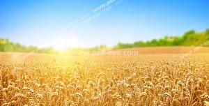 عکس با کیفیت مزرعه بزرگ گندم های طلایی زیر تابش نور خورشید با زمینه آسمان آبی و درختان سرسبز