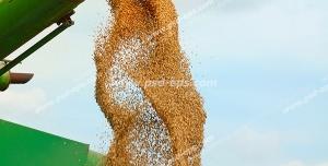 عکس با کیفیت ماشین بذرپاش گندم در حال پاشیدن گندم های طلایی