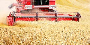 عکس با کیفیت مزرعه بزرگ گندم و برداشت گندم با ماشین دروگر یا کمباین