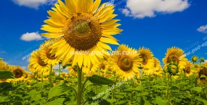 عکس با کیفیت مزرعه بزرگ آفتابگردان با گل های زیبای آفتابگردان در کنار هم با زمینه آسمان آبی و ابری