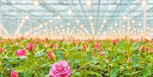 عکس با کیفیت گلدان های محمدی زیبا چیده شده در کنار هم در گلخانه زیر تابش نور لامپ های رشد گلخانه ای