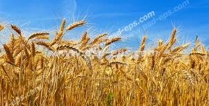 عکس با کیفیت گندم های طلایی رقصان در وزش باد با زمینه آسمان آبی صاف