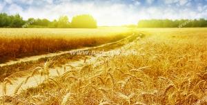 عکس با کیفیت مزرعه رویایی و زیبای گندم های طلایی در کنار هم با زمینه آسمان آبی ابری و درختان سرسبز با تابش نور خورشید در مرکز آن
