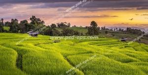 عکس با کیفیت شالیزارهای بسیار زیبای کشت برنج در هنگام غروب آفتاب با آسمانی ابری و کبود