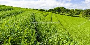 عکس با کیفیت زمین ها و مزارع سرسبز کشت چای در هنگام ظهر زیر تابش مستقیم نور خورشید