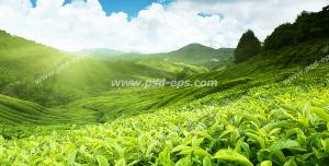 عکس با کیفیت مزارع بزرگ و سرسبز کاشت چای زیر نور آفتاب با زمینه کوههای سرسبز و آسمان آبی و ابری