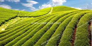 عکس با کیفیت زمین های کاشته شده چای با آسمان آبی
