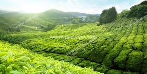 عکس با کیفیت زمین ها و مزارع بزرگ و سرسبز کشت گیاه چای با برگهای سبز با آسمانی آبی و پرتو آفتاب