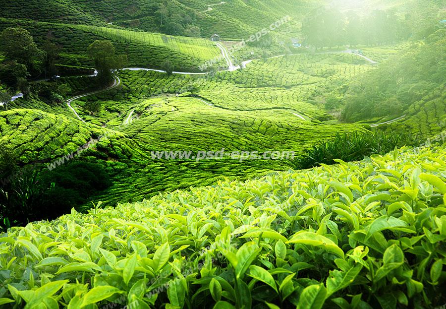 عکس با کیفیت زمین ها و مزارع سرسبز و بسیار بزرگ گیاه چای با برگهای سبز و جاده های پیچ در پیچ در آن