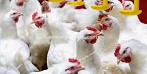عکس با کیفیت مرغداری با نمایی از مرغ ها در حال آب خوردن با نمای نزدیک