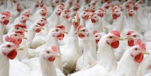 عکس با کیفیت مرغداری با نمایی از مرغ های ایستاده در کنار هم