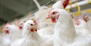 عکس با کیفیت مرغداری با نمایی از خروس ها و مرغ های سفید ایستاده در حال آب خوردن