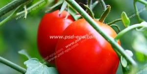 عکس با کیفیت بوته گوجه فرنگی با دو عدد گوجه فرنگی قرمز و رسیده