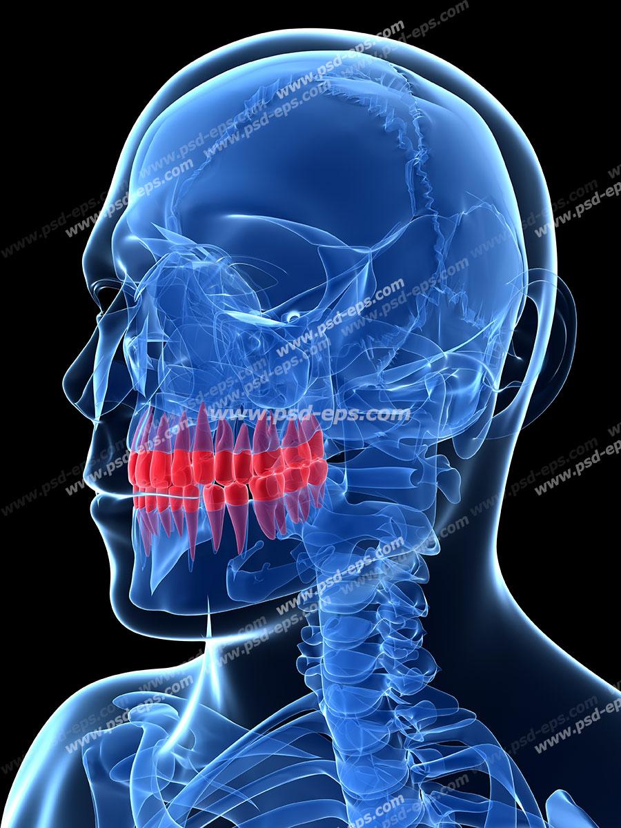 عکس با کیفیت آناتومی اسکلت سر و جمجمه و فک به همراه دندان ها