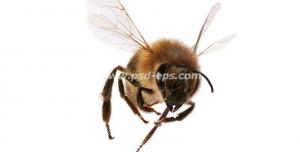 عکس با کیفیت زنبور عسل در حال پرواز