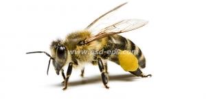 عکس با کیفیت زنبور عسل کوچک بر روی زمینه سفید