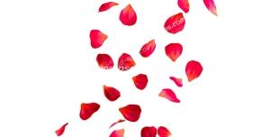 عکس با کیفیت گلبرگ های گل رز قرمز بزرگ و کوچک در حال ریختن از بالا و سمت راست تصویر بر روی زمین