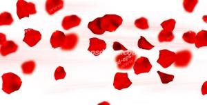 عکس با کیفیت گلبرگ های گل رز قرمز در وسط تصویر و پراکنده در فضا