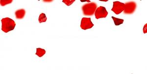 عکس با کیفیت گلبرگ های گل رز قرمز بزرگ و کوچک در حال ریختن از بالا بر روی زمین