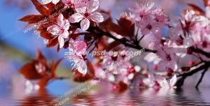 عکس با کیفیت آسمان مجازی یا طرح زیبا برای تایل سقف کاذب طرح شاخه ای پر از شکوفه های صورتی زیبا قرار گرفته بر روی سطح آب