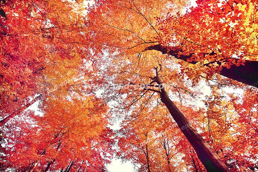 عکس با کیفیت آسمان مجازی یا طرح زیبا برای تایل سقف کاذب درختان بلند مملو از برگ های نارنجی پاییزی