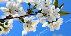 عکس با کیفیت آسمان مجازی یا طرح زیبا برای تایل سقف کاذب طرح شاخه درختی از نمای نزدیک با شکوفه های سفید بسیار زیبا با زمینه آبی