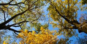 عکس با کیفیت آسمان مجازی یا طرح زیبا برای تایل سقف کاذب طرح درختان جنگلی کیکم در فصل خزان با برگ های زرد و طلایی