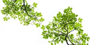 عکس با کیفیت آسمان مجازی یا طرح زیبا برای تایل سقف کاذب دو شاخه سرسبز درخت قرار گرفته روبروی هم با زمینه سفید مناسب اتاق خواب