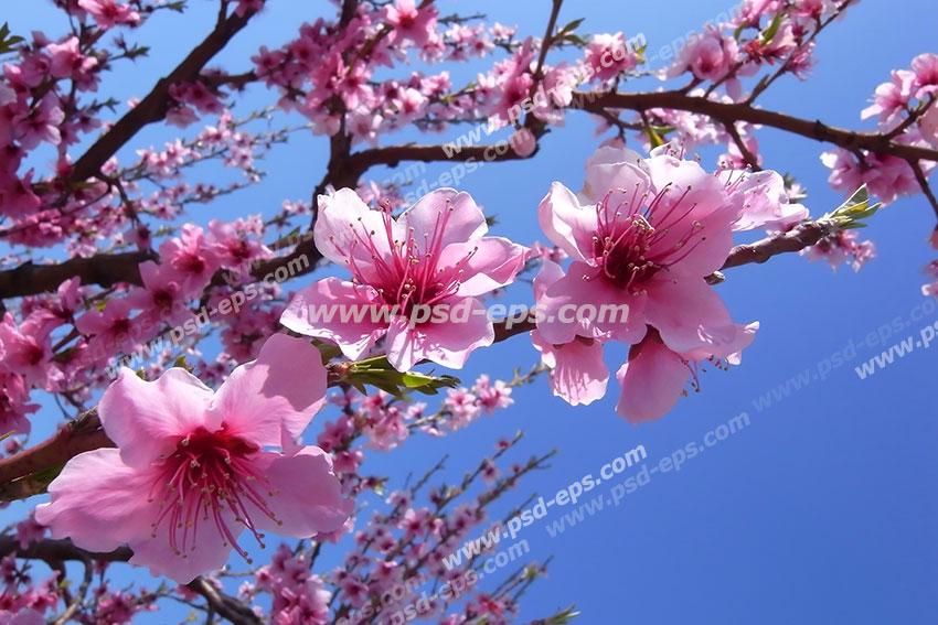 عکس با کیفیت آسمان مجازی یا طرح زیبا برای تایل سقف کاذب طرح درخت آلو قرمز با شکوفه های بزرگ صورتی رنگ بر رو شاخه با زمینه آبی آسمان