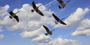 عکس با کیفیت آسمان مجازی یا طرح زیبا برای تایل سقف کاذب طرح پرواز دسته غازهای وحشی در ارتفاعات بالا در آسمان آبی و ابری پهناور