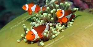 عکس با کیفیت دلقک ماهی اسلاریس یا دلقک ماهی نمو در میان مرجان های نرم مناسب آسمان مجازی آکواریوم