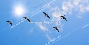 عکس با کیفیت آسمان مجازی یا طرح زیبا برای تایل سقف کاذب طرح پرواز دسته جمعی غازهای وحشی بر فراز آسمان آبی بیکران