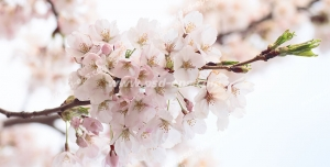 عکس با کیفیت آسمان مجازی یا طرح زیبا برای تایل سقف کاذب شاخه های زیبای درخت بهاری با شکوفه های صورتی از نمای نزدیک مناسب اتاق خواب