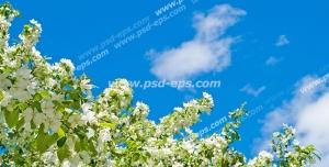 عکس با کیفیت آسمان مجازی یا طرح زیبا برای تایل سقف کاذب طرح درختان سیب با شاخه هایی مملو از شکوفه های سفید و برگ های سبز در کنار آن با زمینه آبی آسمان