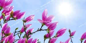 عکس با کیفیت آسمان مجازی یا طرح زیبا برای تایل سقف کاذب طرح درخت بادام با شکوفه های صورتی زیبا بر روی زمینه آسمان آبی و خورشید درخشان