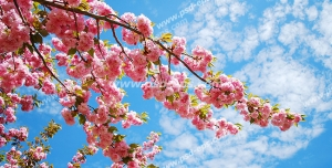 عکس با کیفیت آسمان مجازی یا طرح زیبا برای تایل سقف کاذب شاخه درخت بهاری مملو از شکوفه های زیبای صورتی رنگ بهاری با زمینه آسمان آبی همراه با ابرهای پنبه ای
