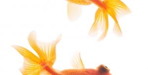 عکس با کیفیت دو ماهی قرمز کوچک در حلقه شنا به دور هم مناسب سفره هفت سین و عید نوروز