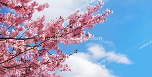 عکس با کیفیت آسمان مجازی یا طرح زیبا برای تایل سقف کاذب طرح درخت زیبای گیلاس پر از شکوفه های کوچک صورتی بر روی زمینه آسمان آبی به همراه تکه های ابر
