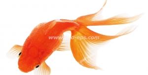 عکس با کیفیت ماهی قرمز یا گلدفیش با دم زیبا مناسب سفره هفت سین عید نوروز