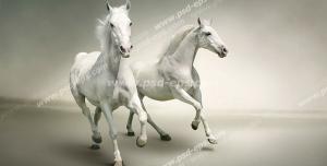 عکس با کیفیت دو عدد اسب یفد چابک در میان صحرا در حال یورتمه با زمینه خاکستری روشن