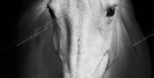 عکس با کیفیت چهره اسب سفید آرام و باوقار از نمای نزدیک با زمینه مشکی
