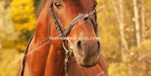 عکس با کیفیت اسب زیبا و اصیل عربی به رنگ کهر با یال و دم سیاه و افساری بر دهانش با زمینه جنگلی زیبای پاییزی
