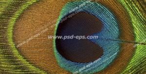 عکس با کیفیت تبلیغاتی پر طاووس از نمای نزدیک