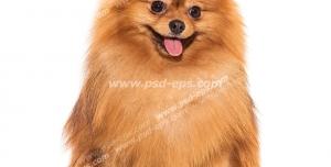 عکس با کیفیت تبلیغاتی سگ پامرانین